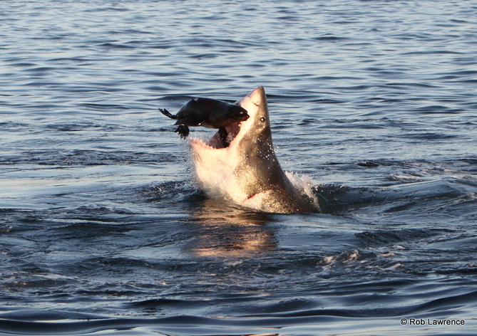 Natural predation by Great White Sharks on Cape Fur Seals