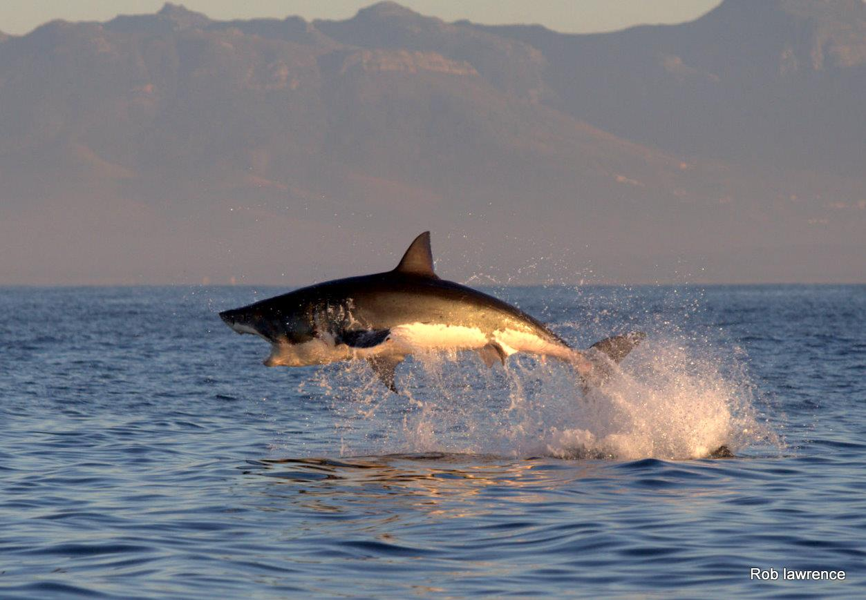 Great White Shark Breaching Tours South Africa