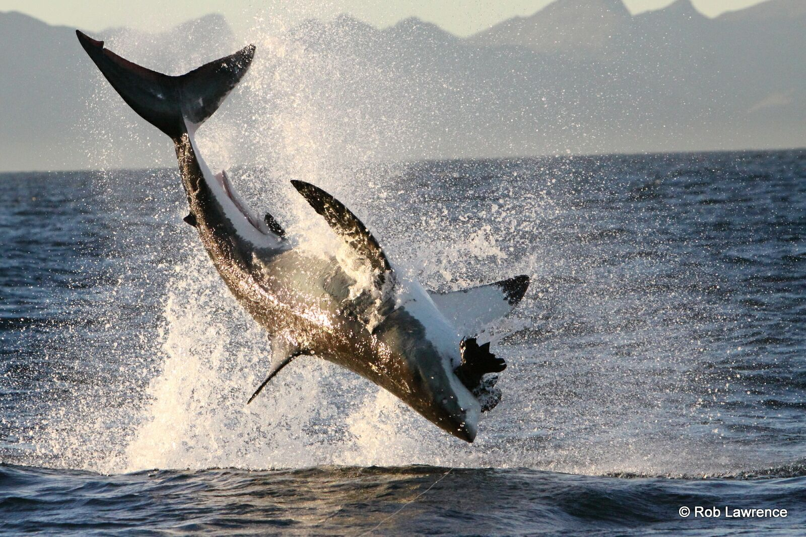 """The """"flying"""" Great Whites of Fasle Bay - as seen on Airjaws 1 & 2"""