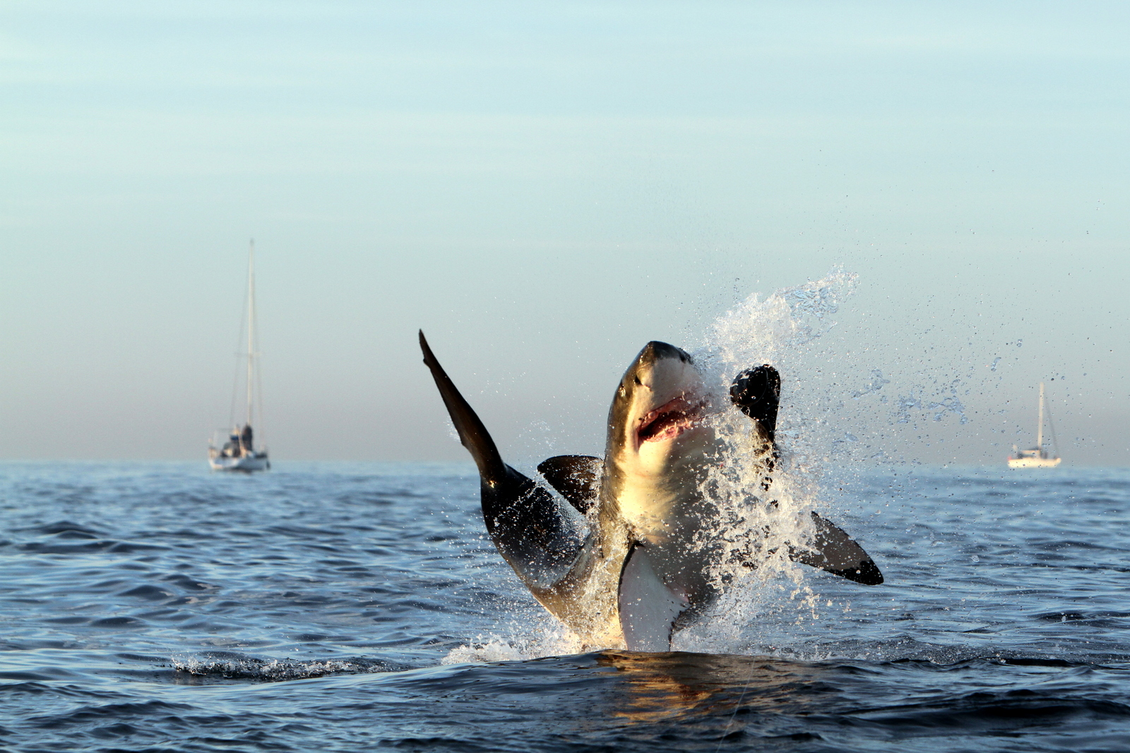Breaching Great White Shark at Seal Island, False Bay