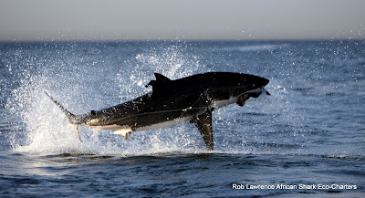 great white shark trips