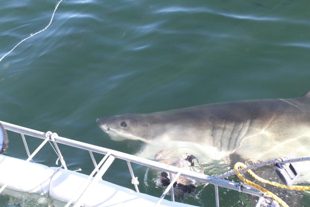 Great White Shark getting up close while shark cage diving
