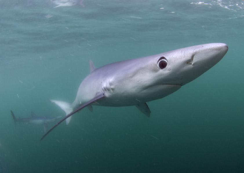 Shark cage diving with Blue Sharks