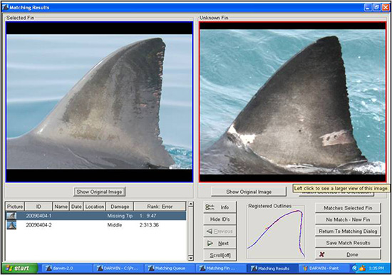 Great White Shark population study with dorsal fin analysis.