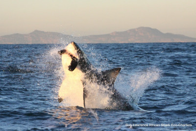 1-1-IMG_4922-Rob-Lawrence-Breaching-Great-White-Shark