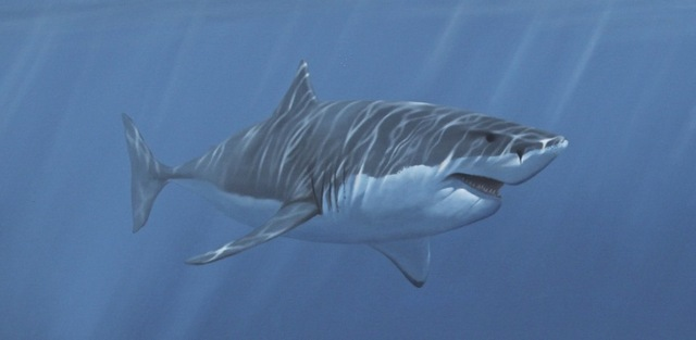 Graceful Great White Shark. African Shark Eco-Charters  Great White Shark Painting