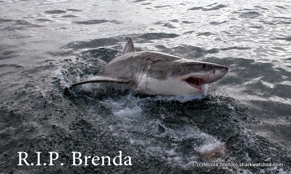 Great White Shark ,Brenda