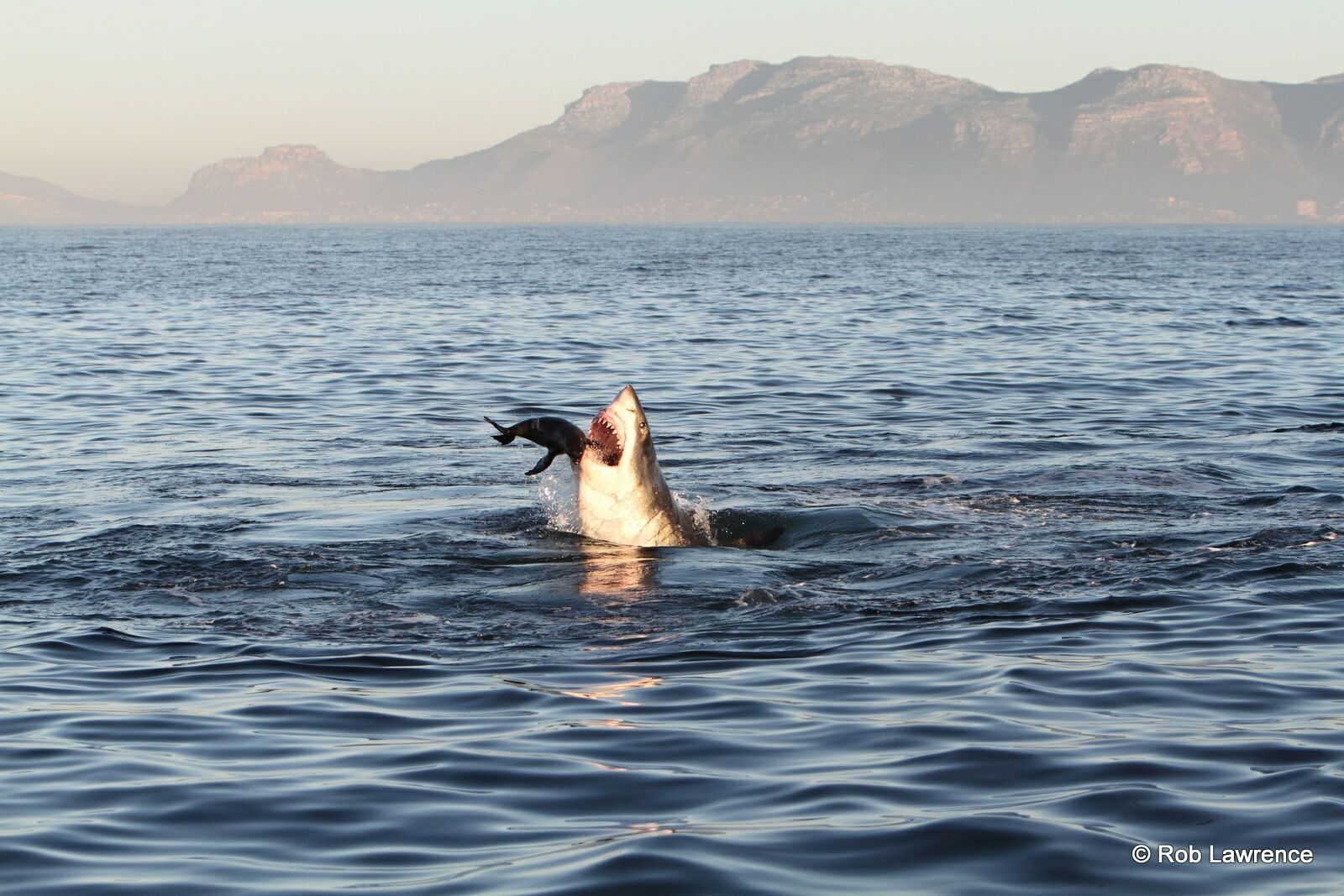 Natural predation of a Great White Shark on a Cape Fur Seal