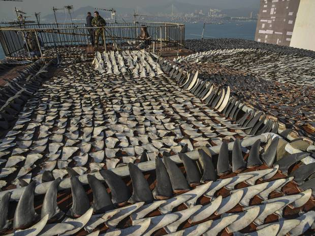 Shark fins left to dry on a rooftop. © The Independent