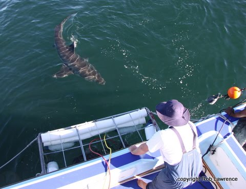 great white shark cage diving