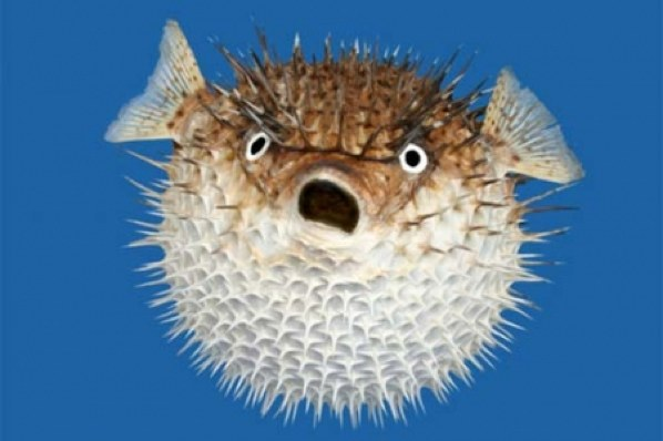 puffer fish archives ultimate animals