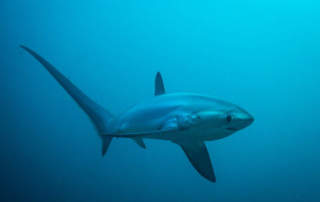 Thresher shark swimming in the open ocean