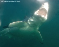 Great White Shark False Bay