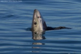 Great White Shark nose out the water