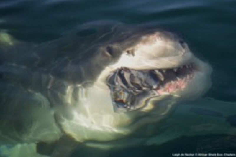 Great White Shark named Zebra coming up from through the water