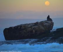 Cape Fur Seal False Bay