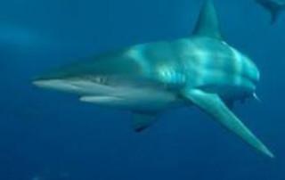 Dusky Shark swimming in open waters