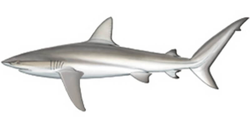 Dusky shark drawing