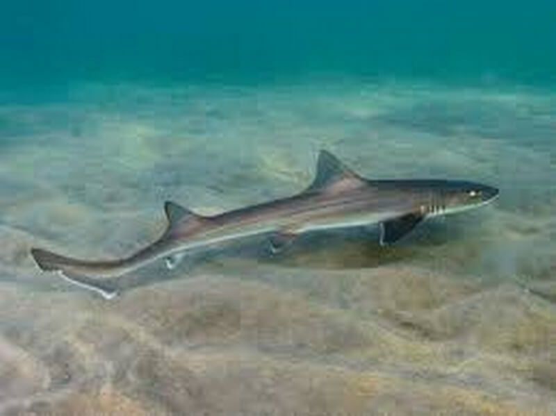 Hound Shark swimming close to the sea bed