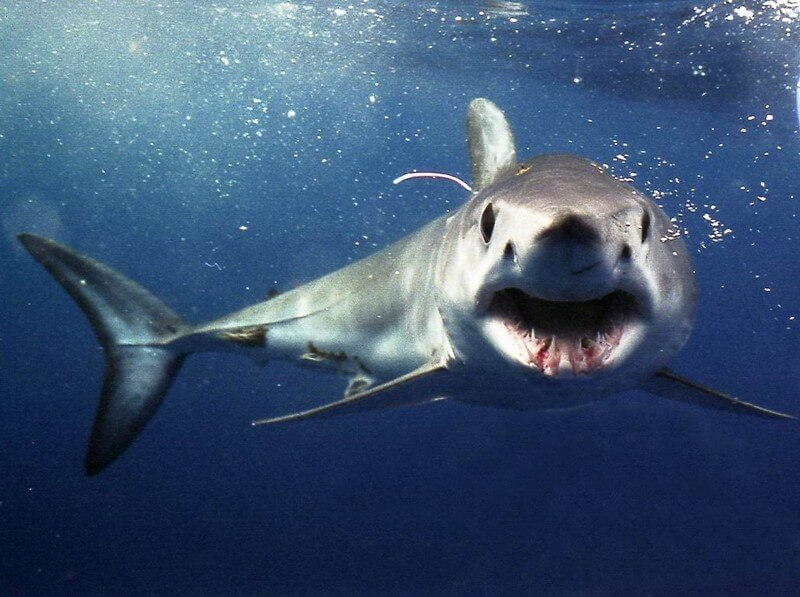Shrtfin Mako Shark face forward