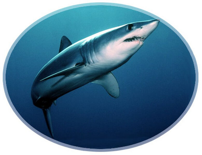 Shortfin Mako swimming in the blue ocean