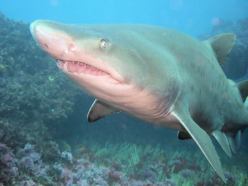Spotted Ragged Tooth shark close up