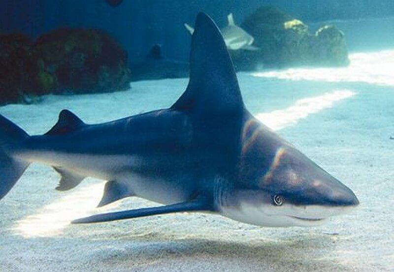 Sandbar Shark swimming close to the oceans' floor