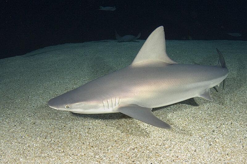 Sandbar Shark  swimming on the ocean bed