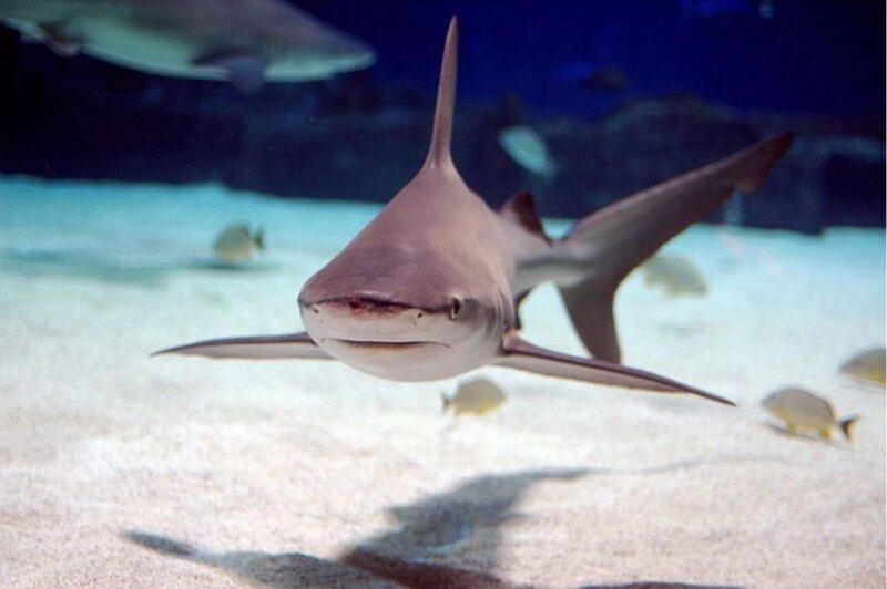 Sandbar shark straight on