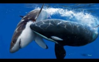 Orca with white shark in its mouth