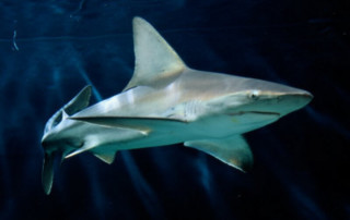 Sandbar Shark swimming in open water