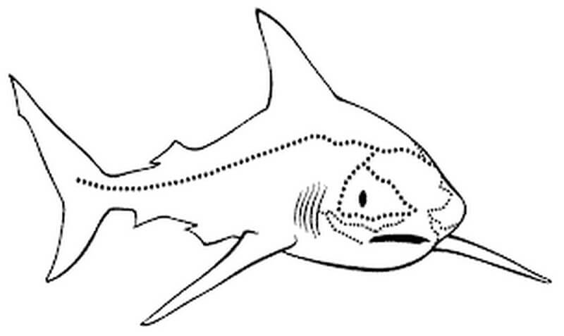 Lateral Line stick shark drawing