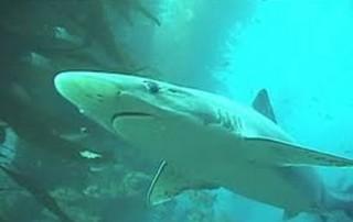 Close up of a Soupfin Shark