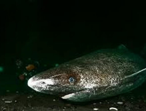 The Pacific Sleeper Shark