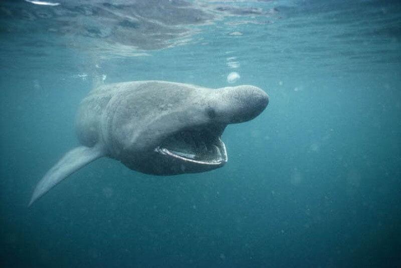 Pacific Sleeper Shark - open mouth