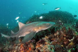Spotted gully sharks keep in sandy depths of 10 metres