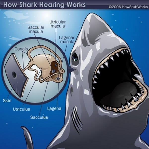 Diagram of how sharks hearing works