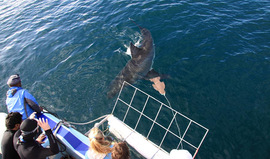 Afternoon Shark Cage Diving Trip