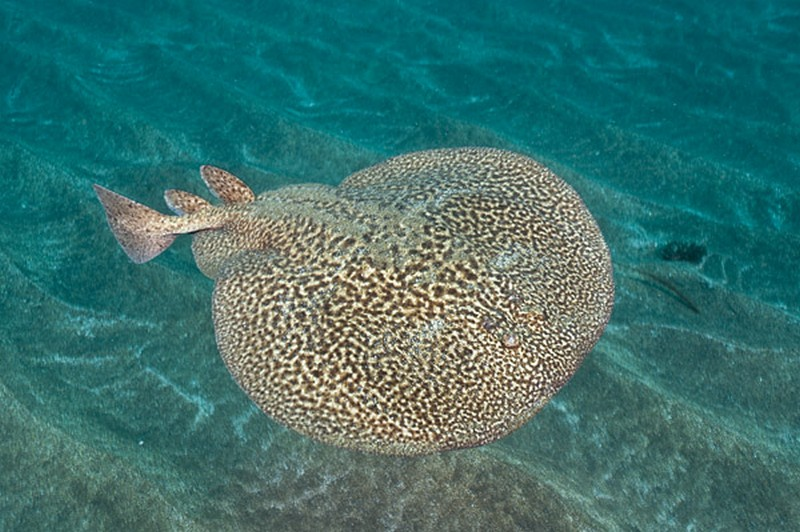 Marbled Torpedo Electric Ray