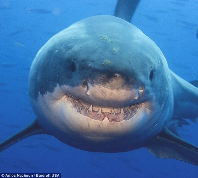 Smiling Great White