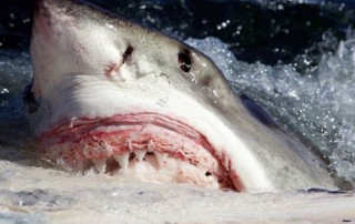 Great White Shark - face out of water