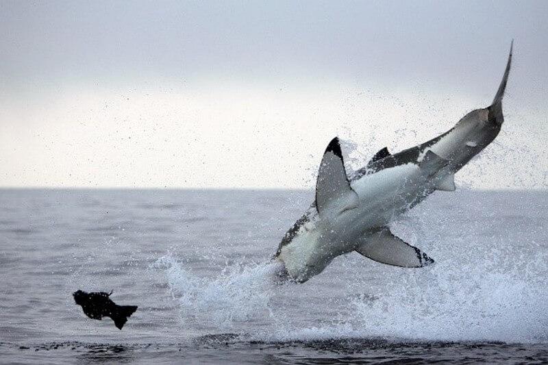 breaching great white shark