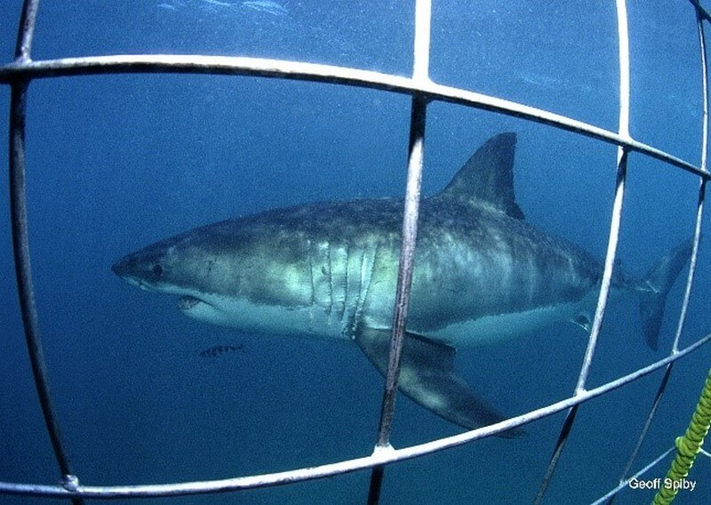 Great White Shark swimming past the cage