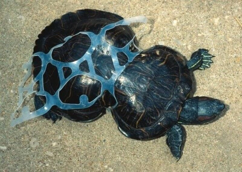 Plastic that has affected the growth of a turtle