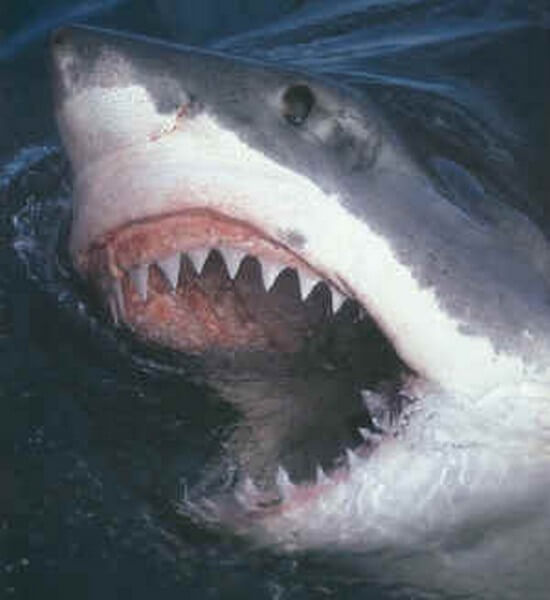 Great White Shark head out of water