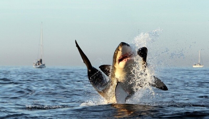 breaching great whtie shark