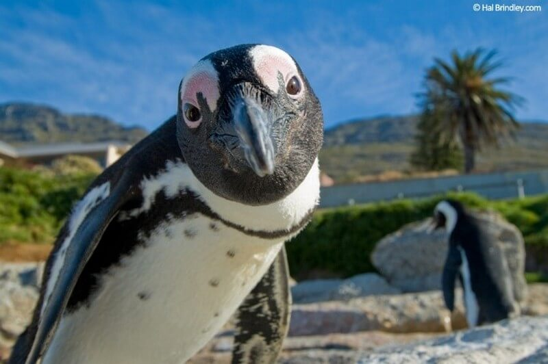 Inquisitive Penguin staring at the camera
