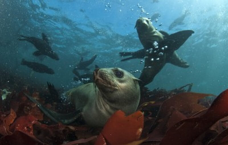 Cape Fur Seal Playing in Kelp