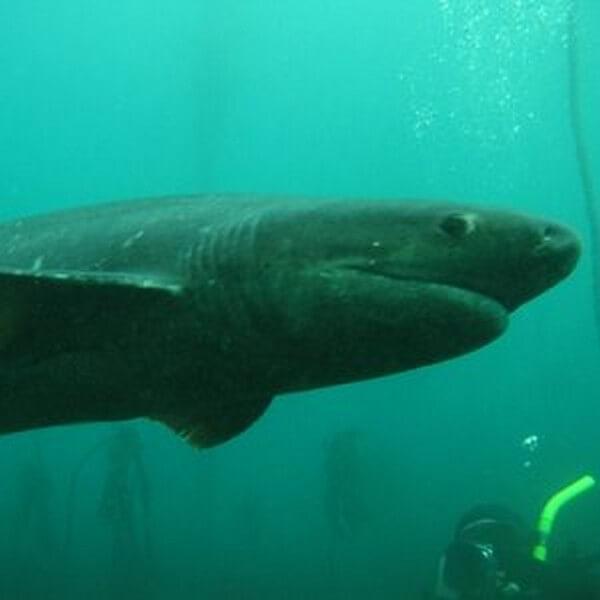 Sevengill Broadnose Cow SHark