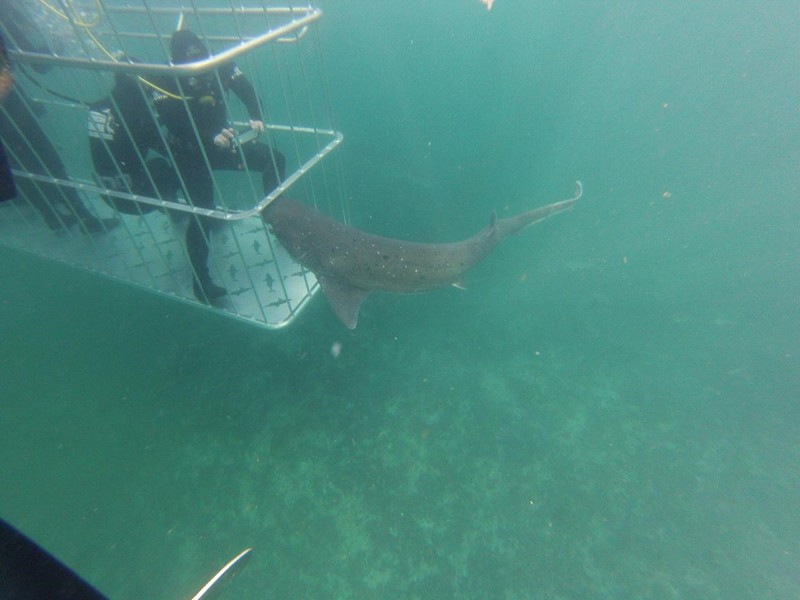 Cage diving with Sevengill Sharks